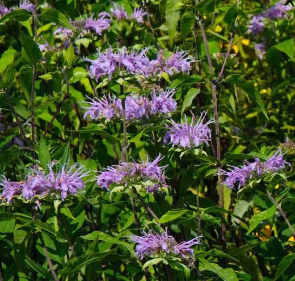 Wild bergamot (Monarda fistulosa)