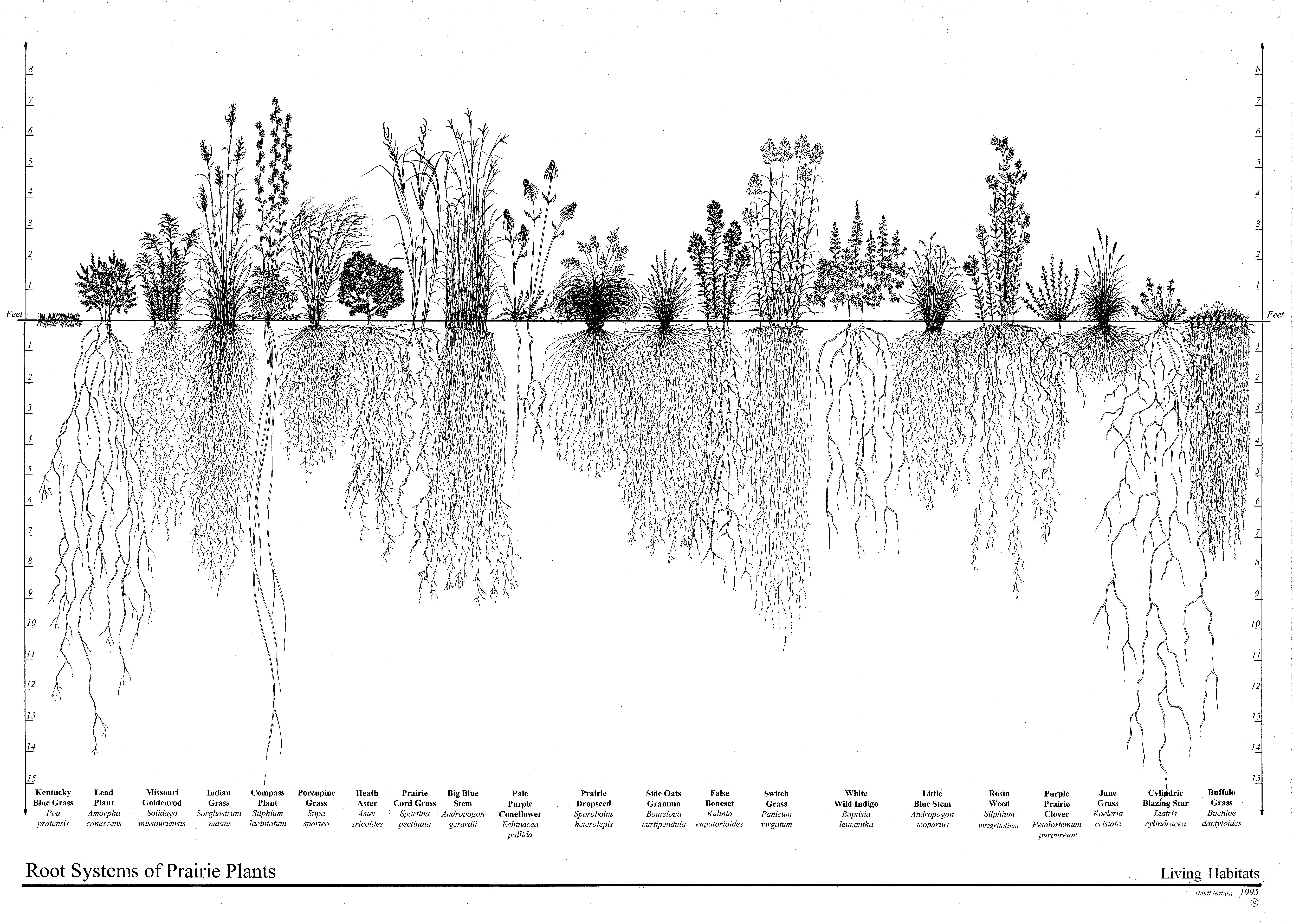 Prairie_roots