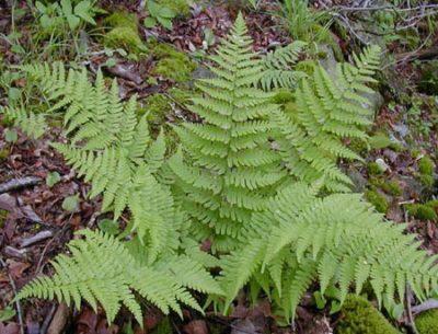 Eastern.wood.fern_Dryopteris.marginalis_H